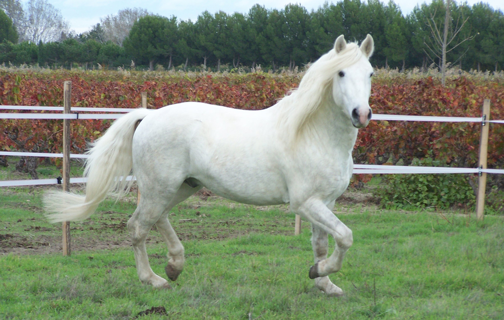 Saillie cheval camargue