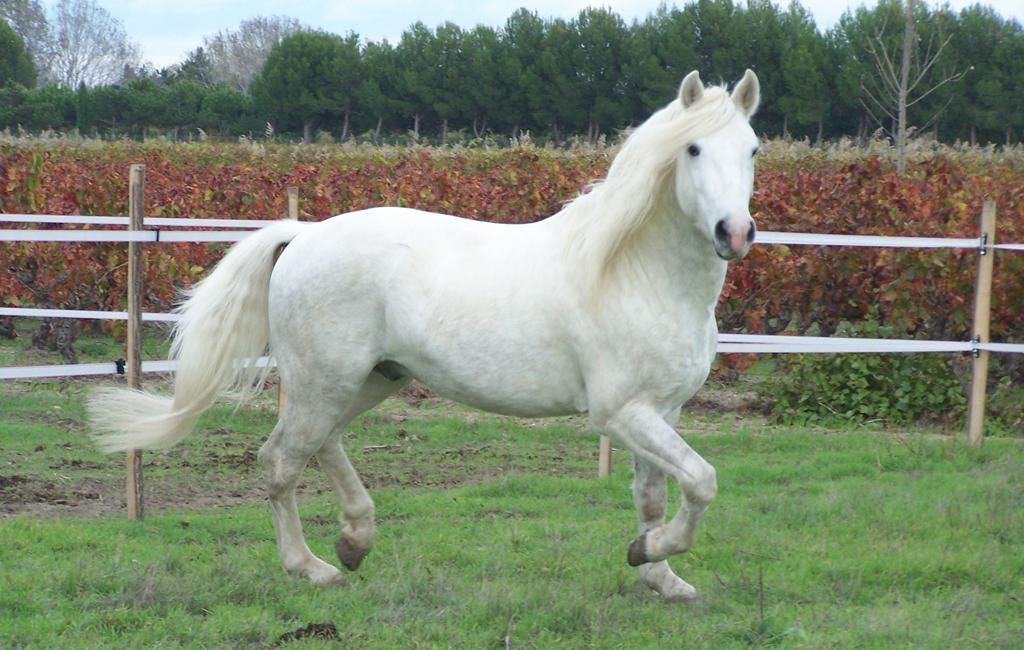 photo cheval camargue