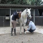 étalon cheval Camargue