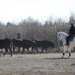 tri de bétail