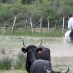 trie de bétail