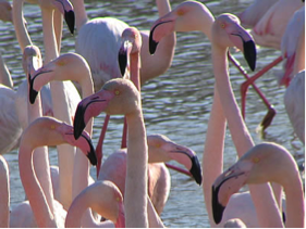 Flamants rose Camargue